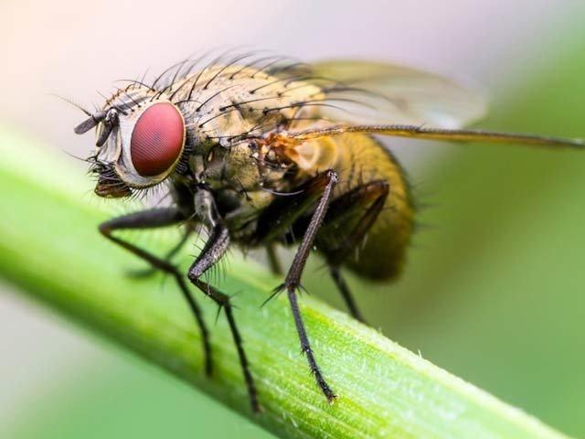 بھوکی مکھیاں بھی ایک دوسرے پر حملہ کردیتی ہیں
