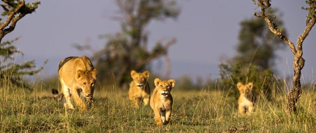 Eight lions in Indian zoo test positive for COVID 19