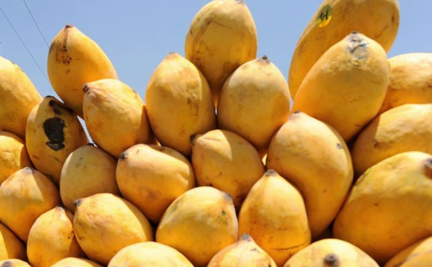 Fungus Unlikely to Disrupt Mango Exports