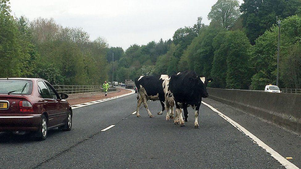 Nuneaton: Invasion of cows causes train delays